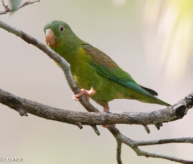Orange-Chinned Parakeet 03-13-17-1513