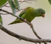 Orange-Chinned Parakeet 03-13-17-1527