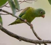 Orange-Chinned Parakeet 03-13-17-1527