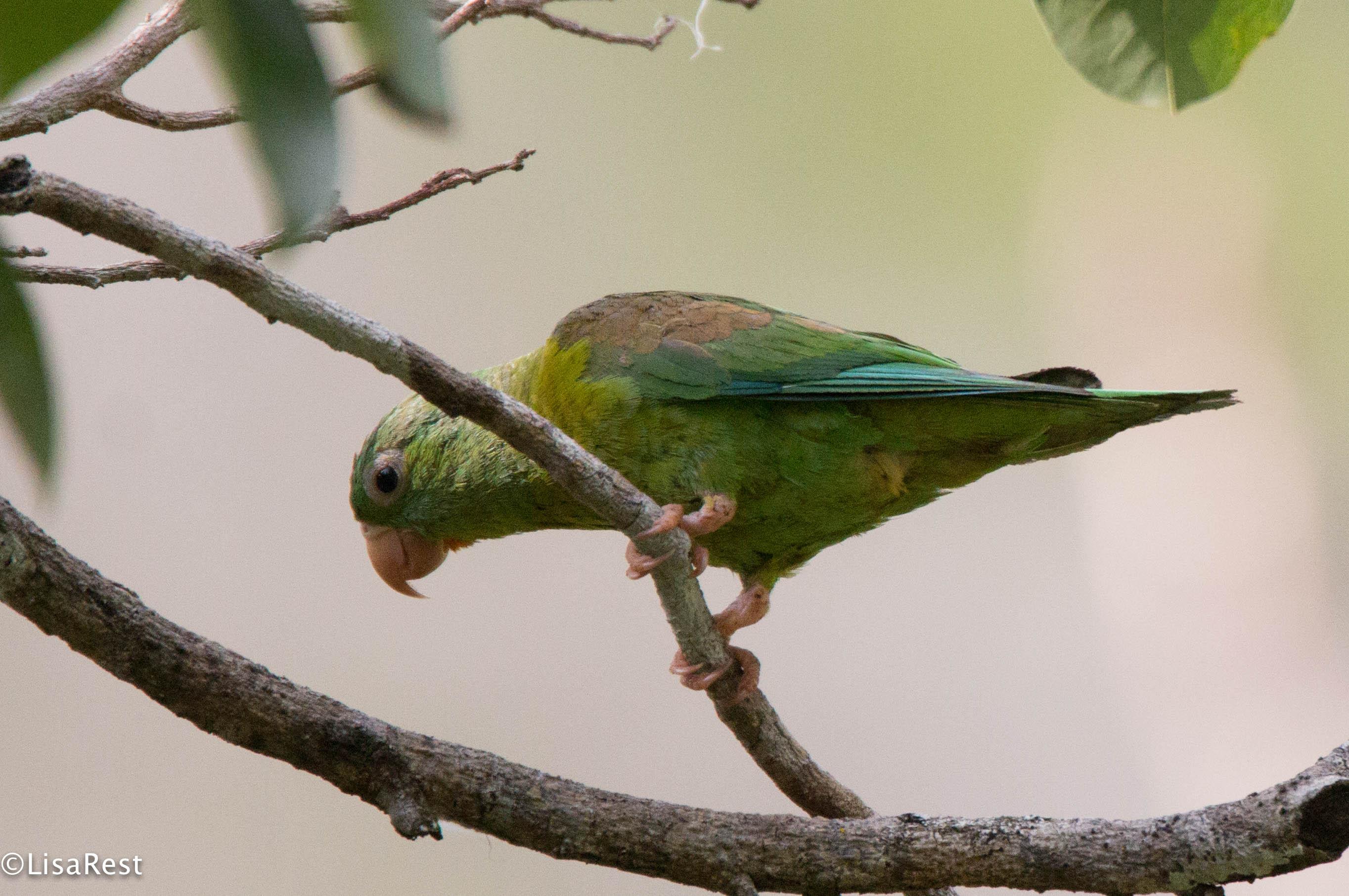 Orange-Chinned Parakeet 3-13-17-1518