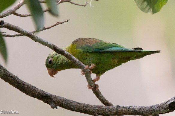 Orange-Chinned Parakeet 3-13-17-1518