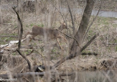 White-Tailed Deer 4-2-17-0014