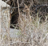 White-Tailed Deer 4-2-17-0019