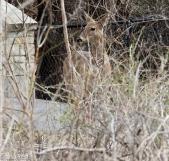 White-Tailed Deer 4-2-17-0019