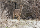 White-Tailed Deer 4-2-17-0021
