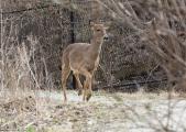 White-Tailed Deer 4-2-17-0021