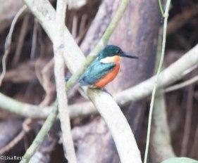 American Pygmy Kingfisher 3-14-17-2308