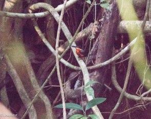 American Pygmy Kingfisher 3-14-17-2314
