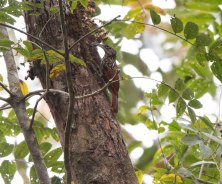 Black-Striped Woodcreeper-ptl17 Lisa Spellman-2431