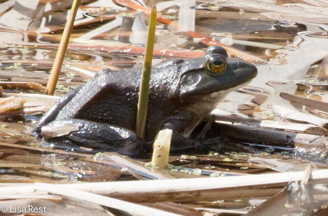 Bullfrog 4-15-17-0886