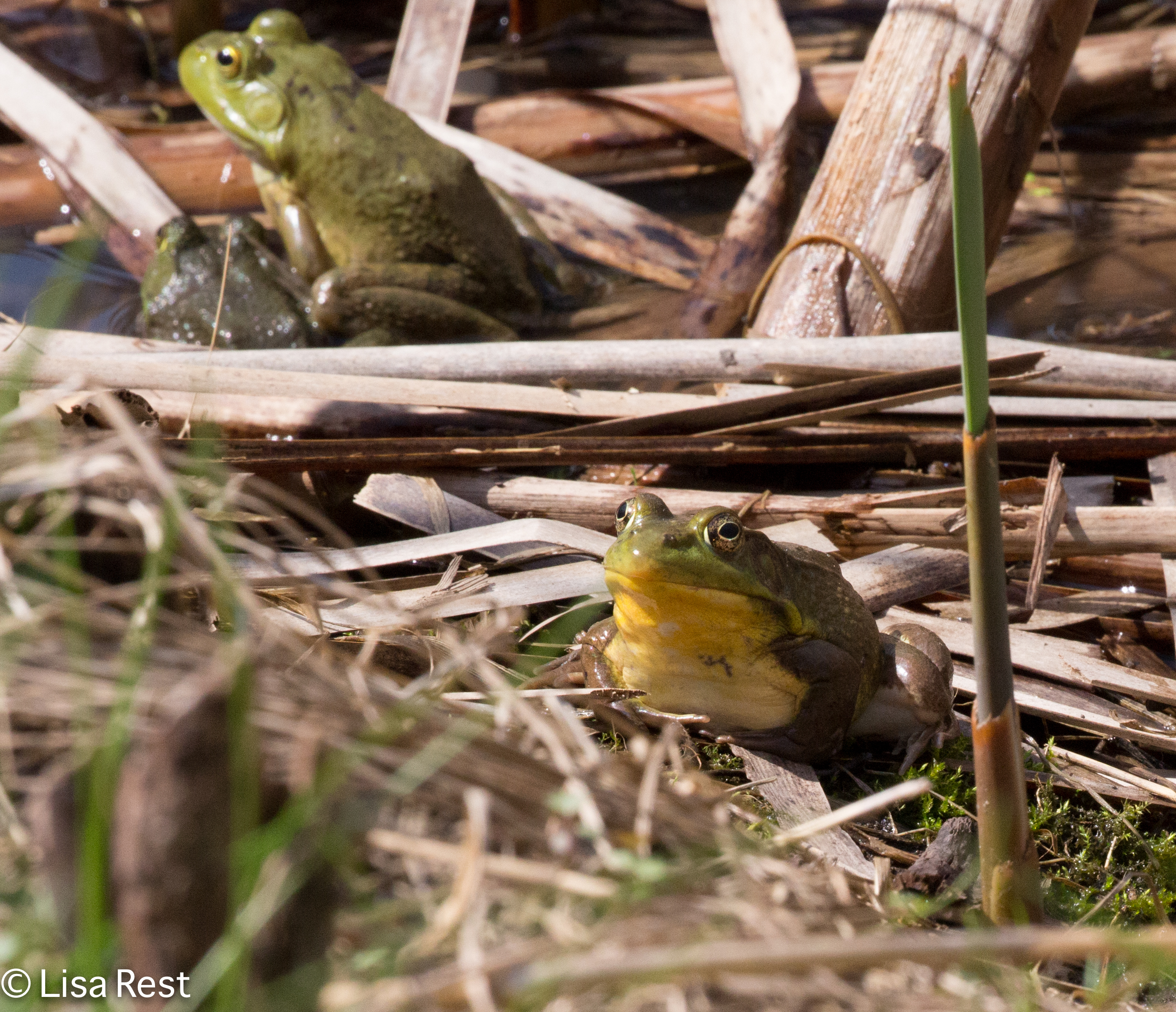 Bullfrogs 4-15-17-0904