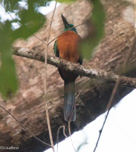 Great Jacamar 03-14-17-2164