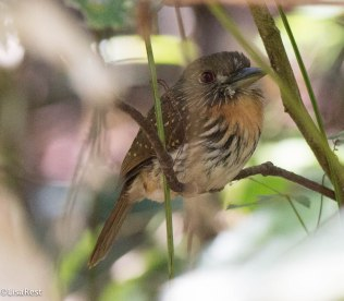 White-Whiskered Puffbird Female 3-14-17-2375