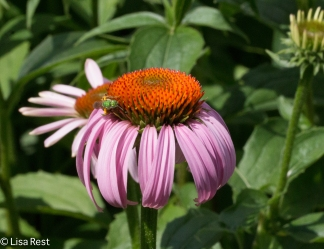 Purple Coneflower 6-24-17-0399