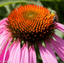 Purple Coneflower 6-24-17-0411