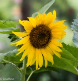 Sunflower 6-24-17-0421