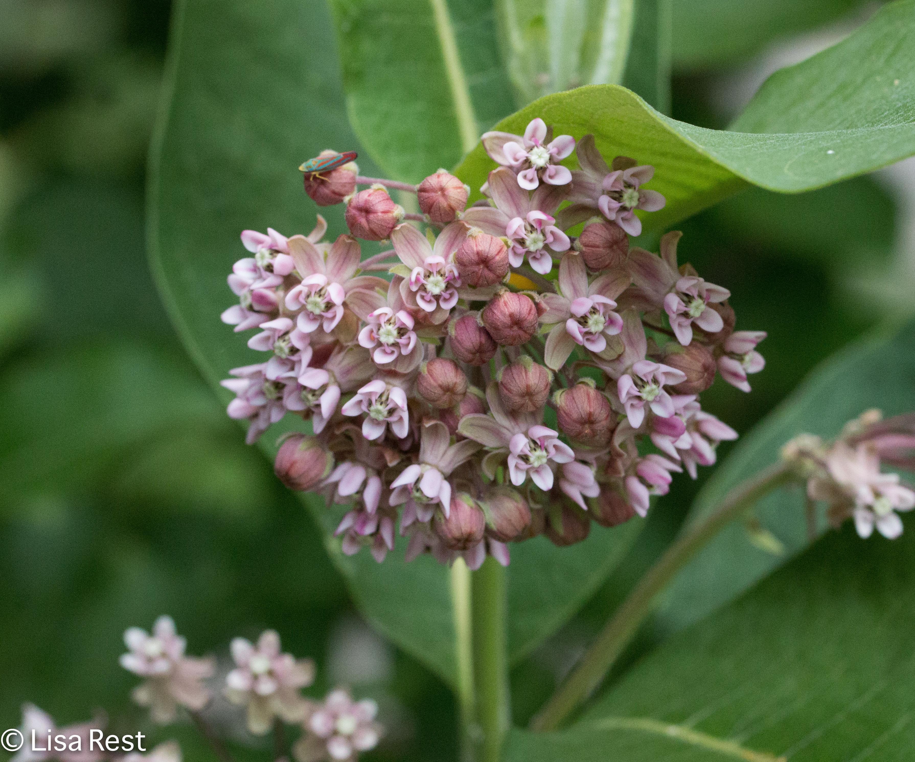 Swamp Milkweed 6-24-17-0438