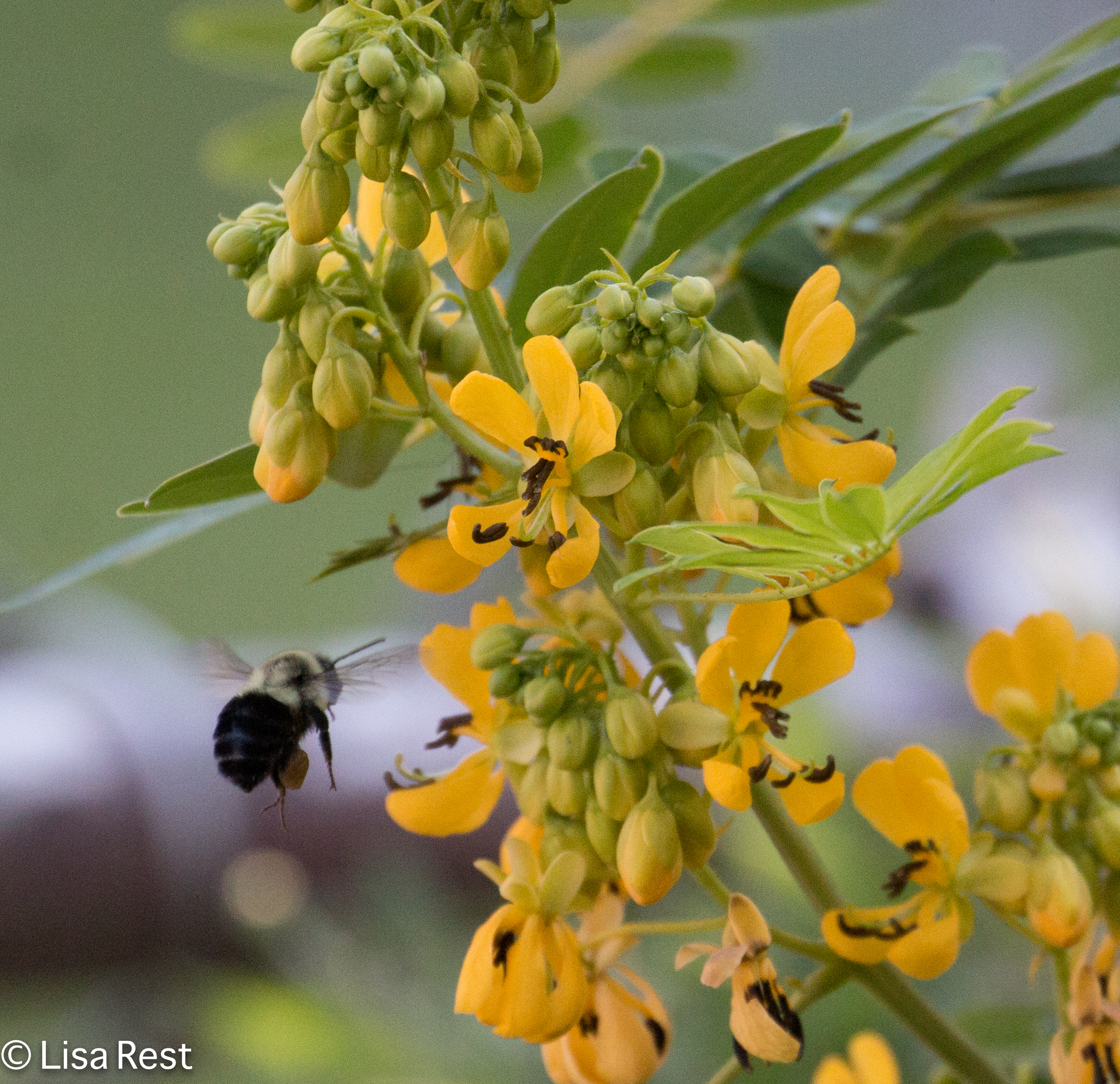 Bee on Wild Senna 07-15-17-1468