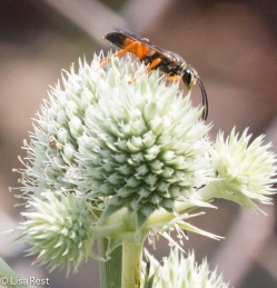 Beetle on Rattlesnake Master 07-15-17-1618