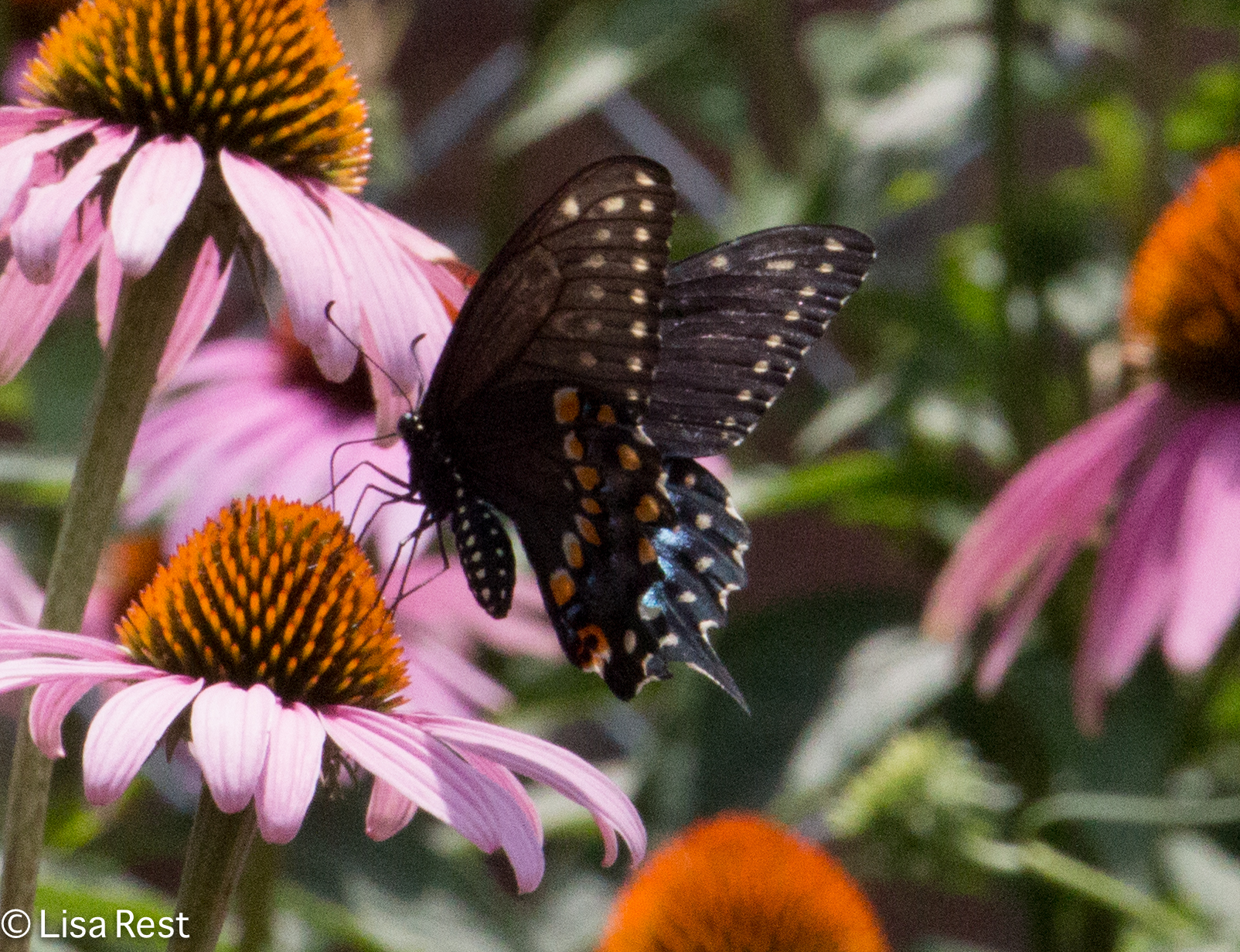 Black Swallowtail 07-15-17-1746
