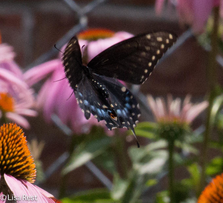 Black Swallowtail 07-15-17-1747
