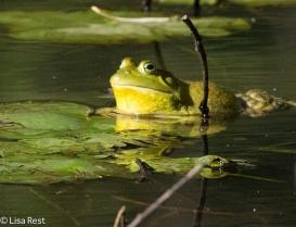 Bullfrog 07-02-17-4678