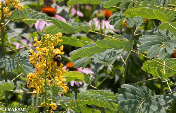 Bumblebee and Wild Senna 07-15-17-1751