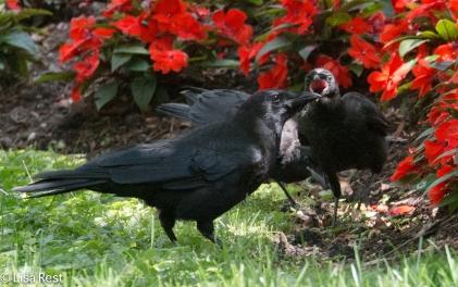 Crows LSE Park 07-17-17-1797