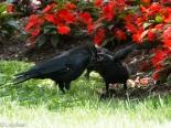 Crows LSE Park 07-17-17-1801