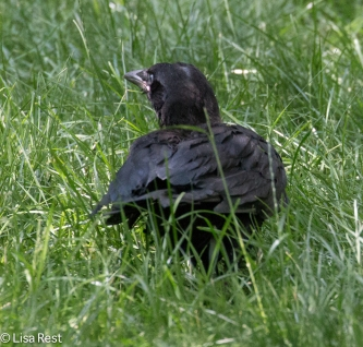Fledge Crow 07-11-17-0994