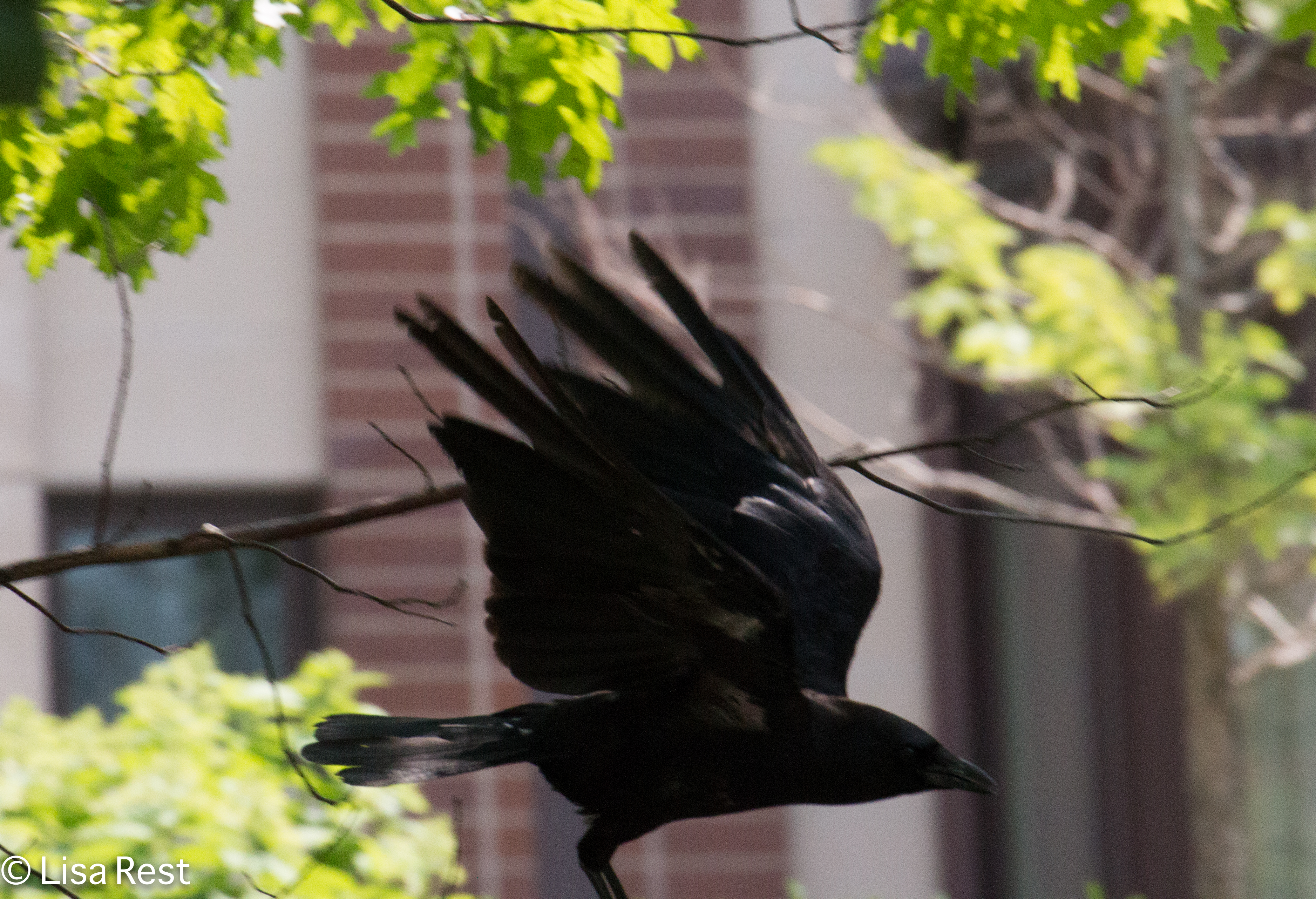 Flying Crow 07-11-17-1101