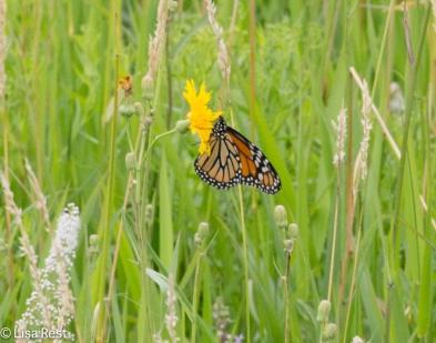 Monarch 07-16-17-6024
