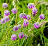 Purple Prairie Clover 07-16-17-6273
