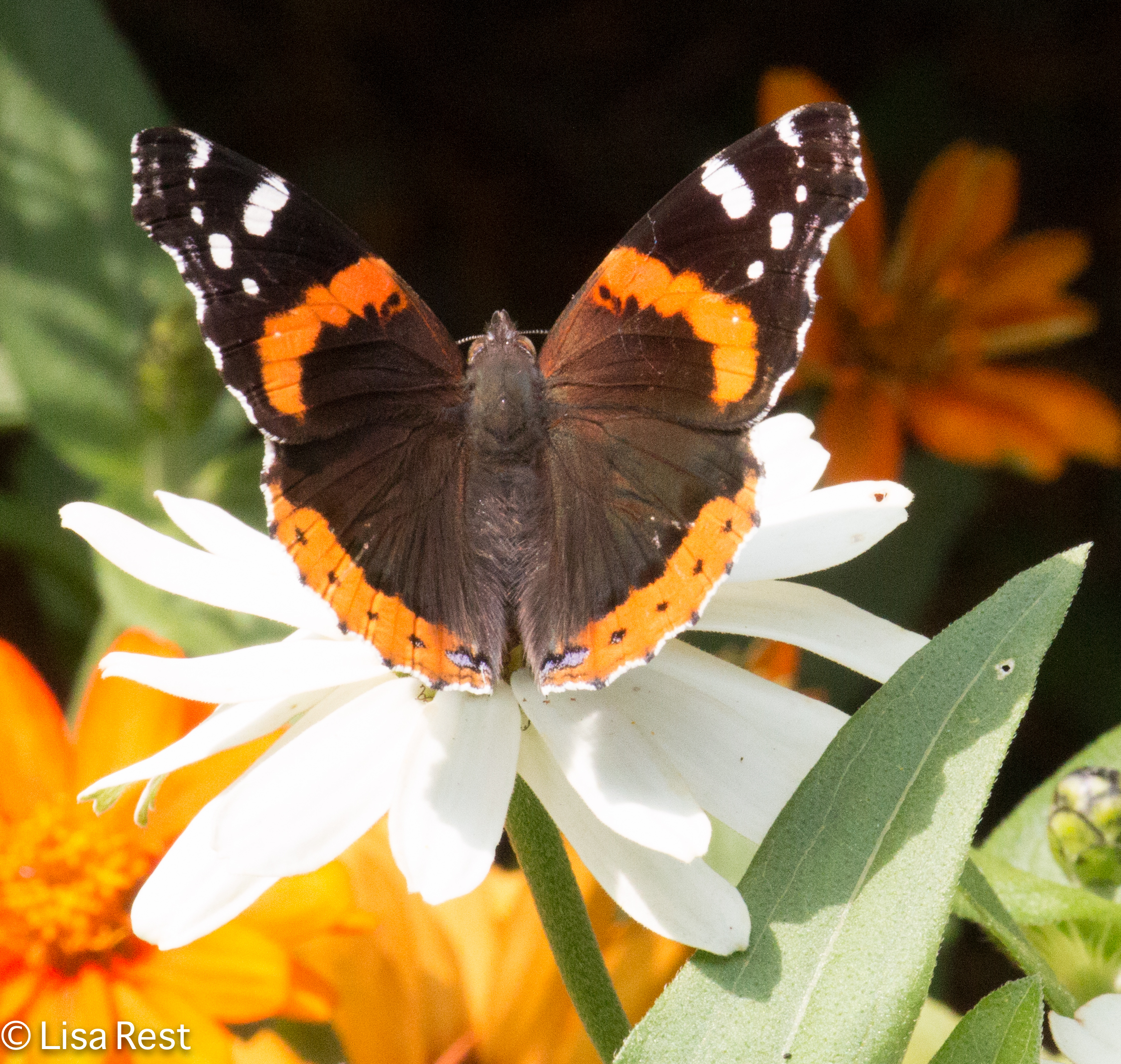 Red Admiral 07-11-17-1116