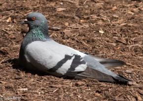 Sunbathing Pigeon LSE Park 07-25-17-2206