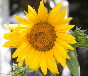 Sunflower 07-08-17-0954
