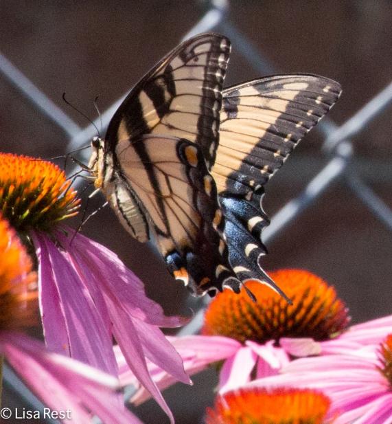 Tiger Swallowtail 07-15-17-1688