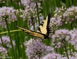 Tiger Swallowtail Cancer Survivirs 07-26-17-2376