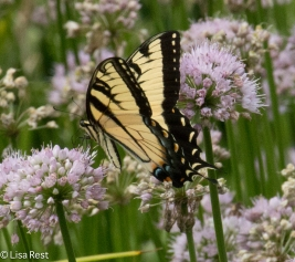 Tiger Swallowtail Cancer Survivirs 07-26-17-2382
