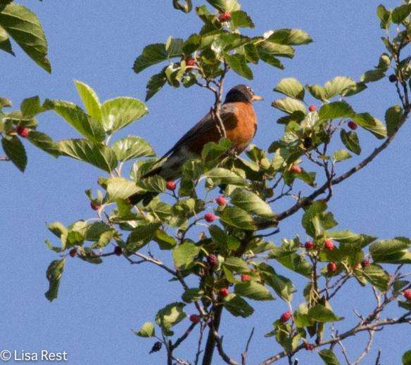 AMRO Berries Portage 08-05-17-7174
