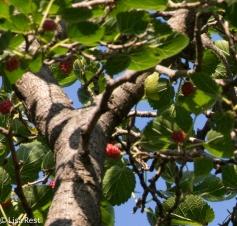 Berries Portage 08-05-17-7151