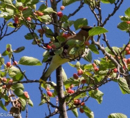 Cedar Waxwing Portage 07-29-17-6466