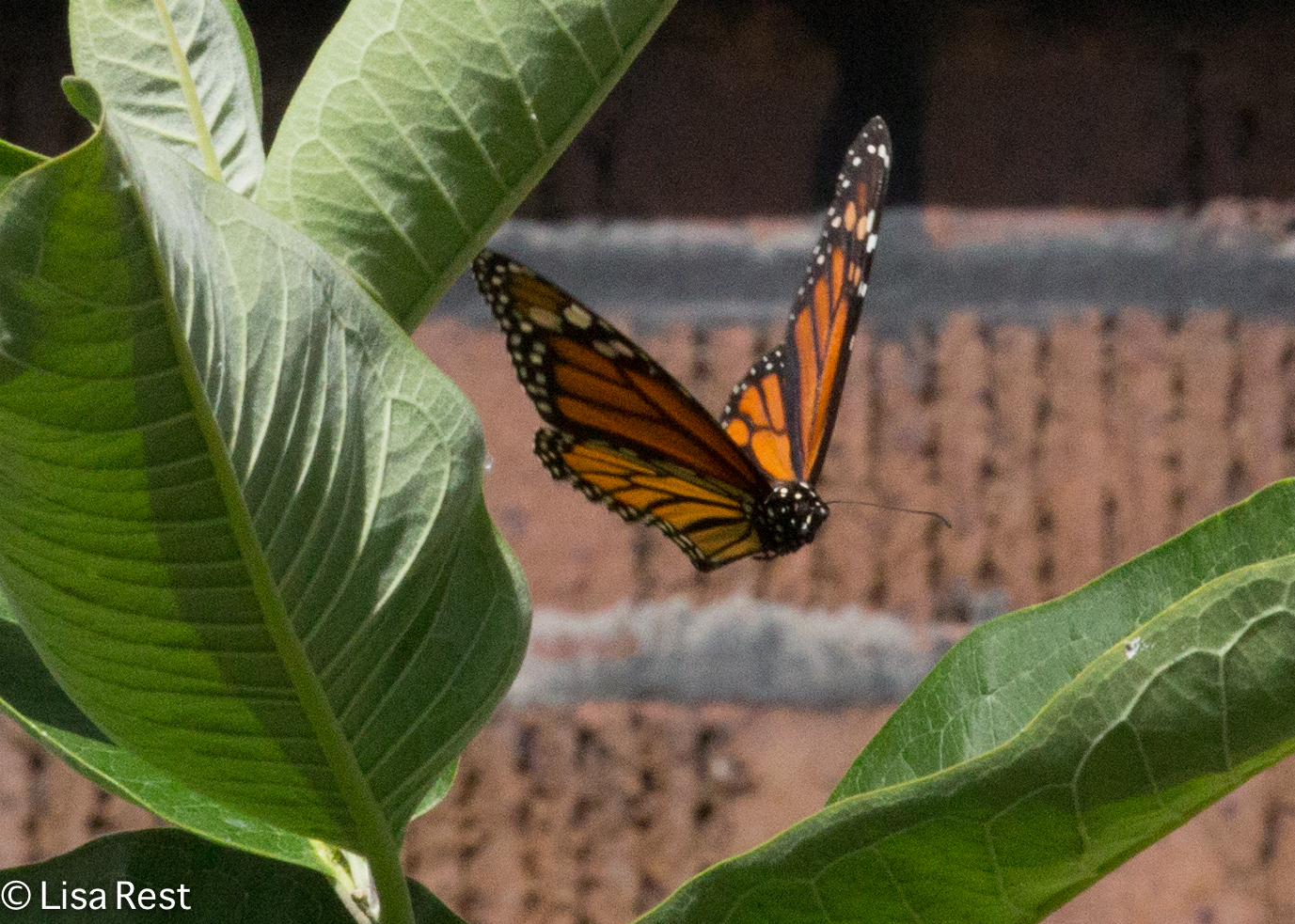 Monarch Front Yard 07-29-17-6854