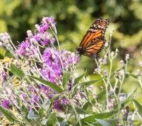 Monarch Yard 08-05-17-2554