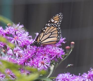 Monarch Yard 08-05-17-2599