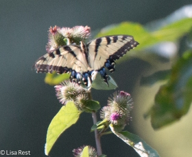 Tiger Swallowtail 08-20-17-3235