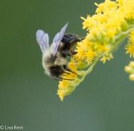 Bee on Goldenrod Yard 09-04-17-4853