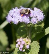 Bee on Mistflower Yard 09-01-17-3486