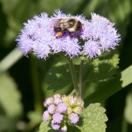 Bee on Mistflower Yard 09-01-17-3486