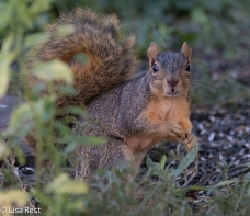 Fox Squirrel 09-07-17-5173